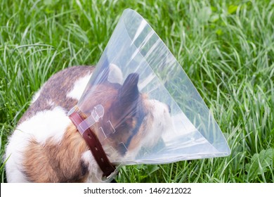 The dog wears an Elizabethan plastic cone medical collar around the neck to protect against paresis, bites and wounds on the body.  Sad dog breed Jack Russell Terrier sitting on the green grass