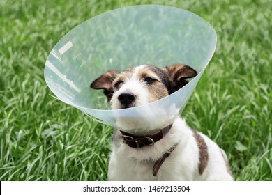 The dog wears an Elizabethan plastic cone medical collar around the neck to protect against bitten wounds on the green grass meadow. Sad dog breed Jack Russell Terrier