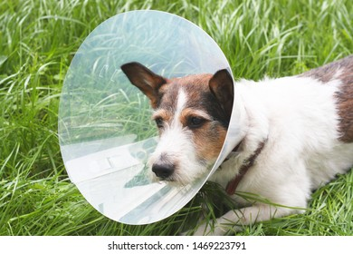 The dog wears an Elizabethan plastic cone medical collar around the neck to protect against bitten wounds on the green grass meadow.  Jack Russell Terrier. sad dog is sick