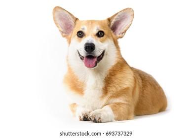 dog welsh corgi lying down on white background