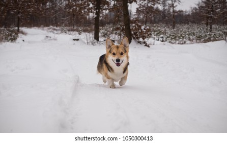 Dog Welsh Corgi Pembroke on a walk in a beautiful winter forest.