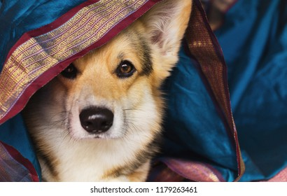Dog Welsh Corgi Pembroke on a background of colored beautiful fabric. Eastern motifs.