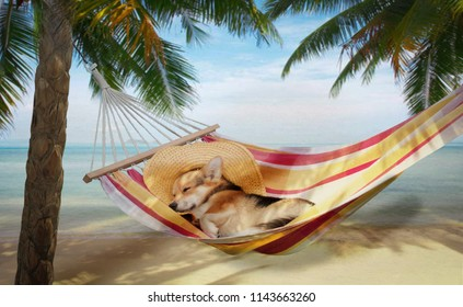 Dog Welsh Corgi Pembroke rest in a hammock by the sea.
