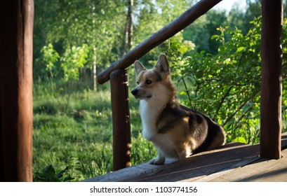 The dog Welsh Corgi pembroke rests on the veranda of his house.