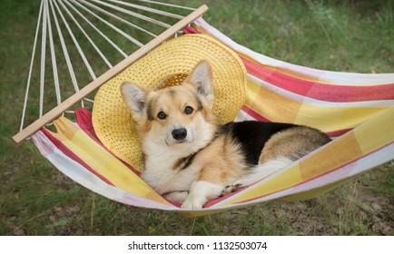 The dog Welsh Corgi pembroke rests in a yellow striped hammock.