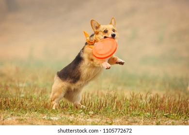 A dog welsh corgi runs after a frisbee in the field