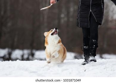 dog welsh corgi in winter