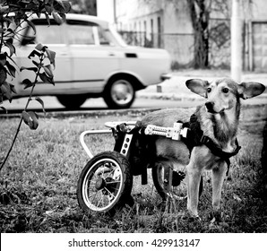 dog in a wheelchair in front of a car