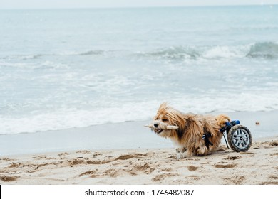 dog in a wheelchair running on the beach with a stick in his mouth