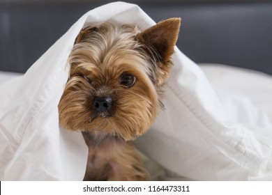 A dog in a white blanket in bed, a Yorkshire terrier
