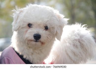 Dog, white pet dog.