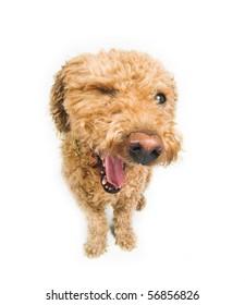 Dog winking at you. (spanish waterdog breed)