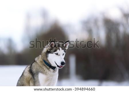 Dog Winter Wood Breed Dog Siberian Stock Photo Edit Now 394894660
