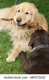 Dog with wood stick in his mouth on a meadow
