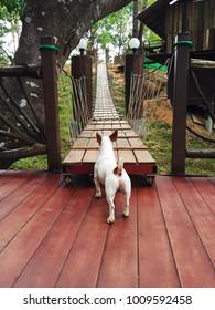 Dog and wooden bridge