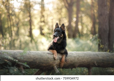 Dog in the woods. black  Shepherd in the forest in nature