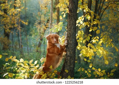 the dog in the woods put the paws in a tree. Autumn mood. Pet on nature. Nova Scotia duck tolling Retriever, Toller