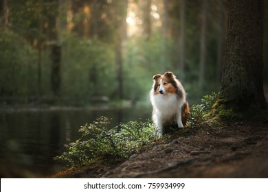 Dog in the woods. Sheltie in the forest in nature