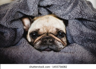 The dog wrapped in a blanket is sitting on the bed. Cute French Bulldog.