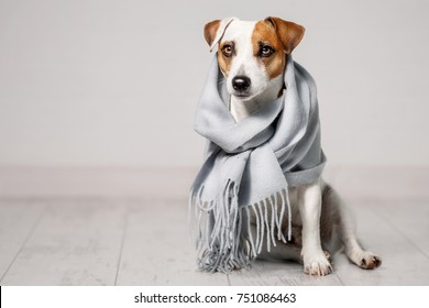 Dog wrapped in a scarf. Pet warms under a blanket in cold autumn weather