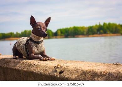 Dog Xoloitzcuintle breed puppy 11 months. Lying on the parapet, on the background of the Dnieper River, opposite the island. Apply tone filter. Ukraine.