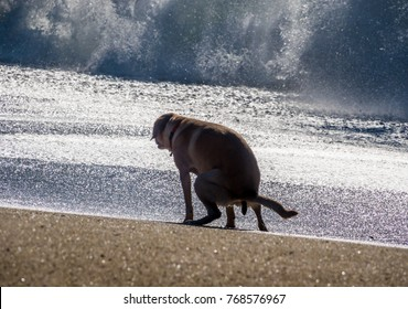 A dog ( yellow Labrador (lab) retriever) poops on the beach as large waves break in the background.