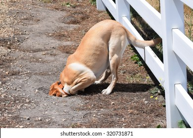 A dog (yellow Labrador Retriever (lab), burying (buries) head in sand, after chasing a ground squirrel into a hole, in the hills of Monterey, California, USA.