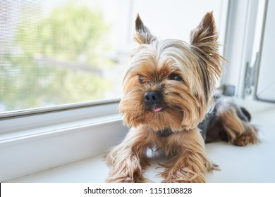 Dog Yorkshire Terrier eats a snack