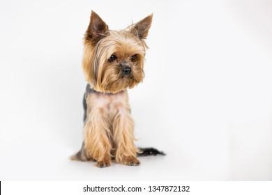 Dog yorkshire terrier on white background