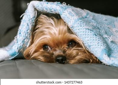 Dog yorkshire terrier under a blanket