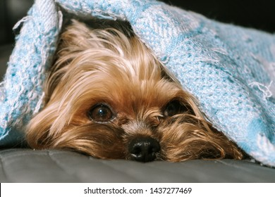 Dog yorkshire terrier under a blanket