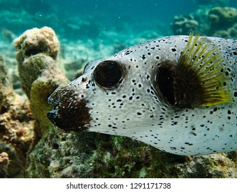 Dog-faced pufferfish also known as a black-spotted pufferfish with hard coral in the background. Maldives.