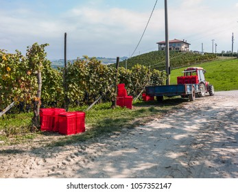 Dogliani, Piedmont, Italy - September 22, 2012: Tractor bringing baskets full of grapes after the grape harvest.