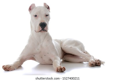 dogo Argentine laying down on white background