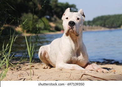 Dogo Argentino Images, Stock Photos & Vectors | Shutterstock