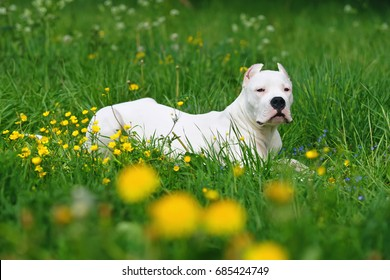 Dogo Argentino dog with cropped ears lying outdoors in a green grass with yellow flowers