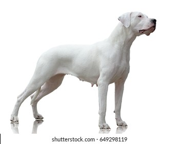 Dogo Argentino female stand isolated on white background side view