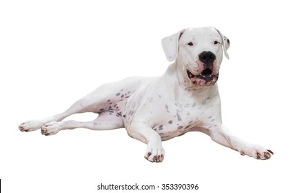 Dogo Argentino. Isolated over white  background