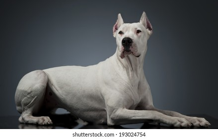Dogo Argentino lying on the studio table