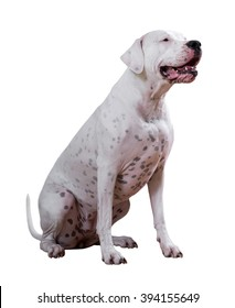 Dogo Argentino, on white background