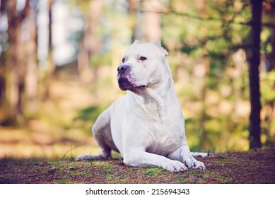 dogo argentino portrait in the forest