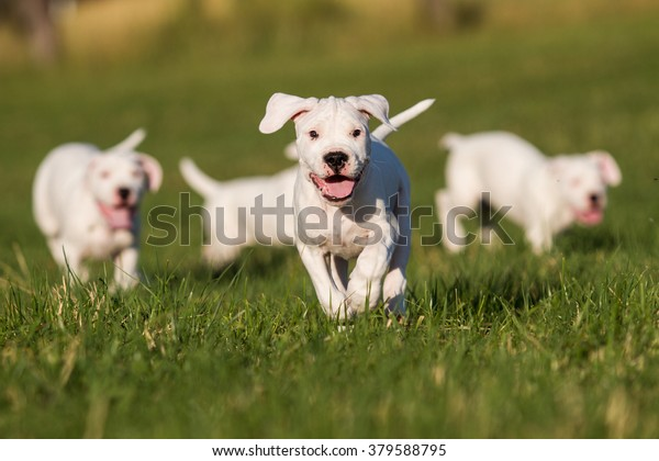 Dogo Argentino Puppy Stock Photo (Edit Now) 379588795