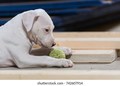 Dogo Argentino puppy chews on a ball