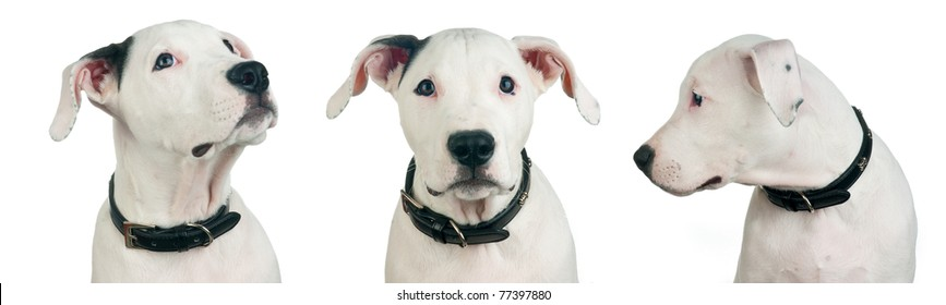 dogo argentino puppy in few different perspectives