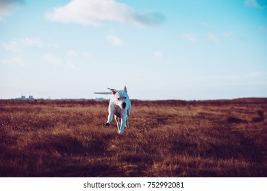 Dogo Argentino running in grass on the Swedish countryside