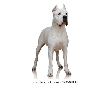 Dogo Argentino stand isolated on white background