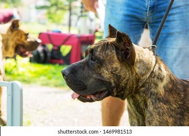 Dogo Canario, perro de presa canario puppy dog with owner in park.