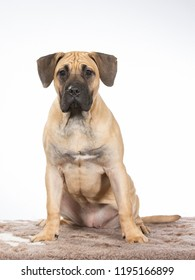 Dogo Canario puppy dog portait. Image taken in a studio with white background. Wrinkles on the head.