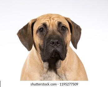Dogo Canario puppy dog portrait, image taken in a studio with white background.