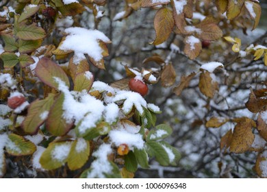 Dogrose berries in the snow